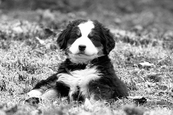 Domaine Summum is the place for home raised Bernese Mountain dogs